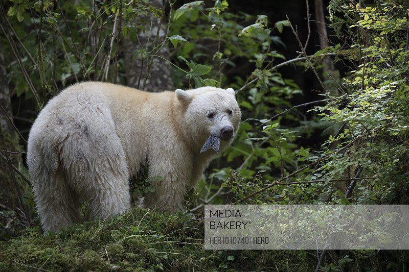 Portrait polar bear catching fish in woods