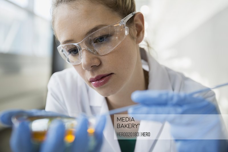 Focused scientist scraping petri dish with inoculating loop