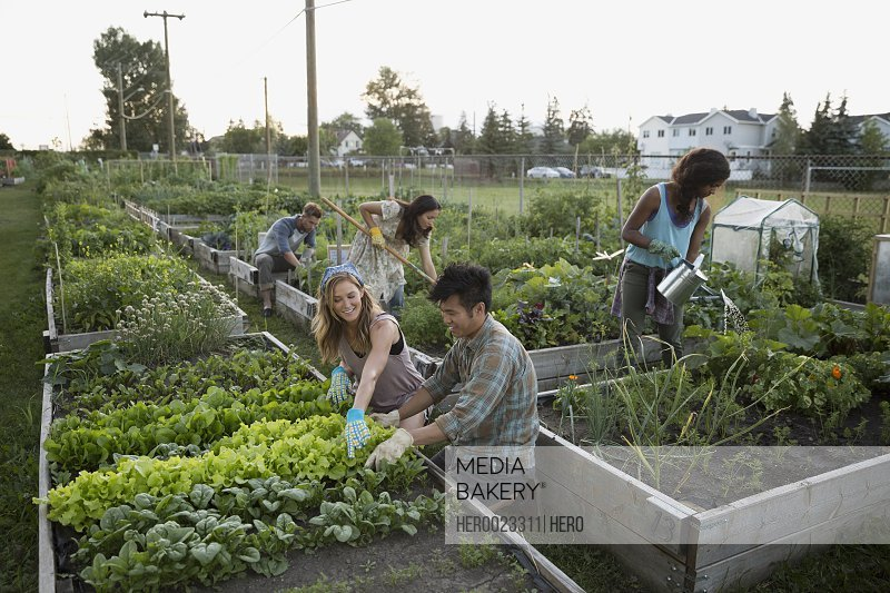 People tending to community vegetable garden