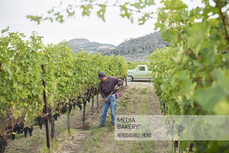 Worker raking working in vineyard among grape vines