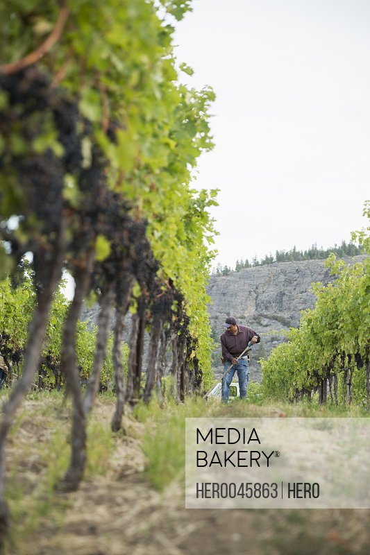 Worker raking working in vineyard among grape vines