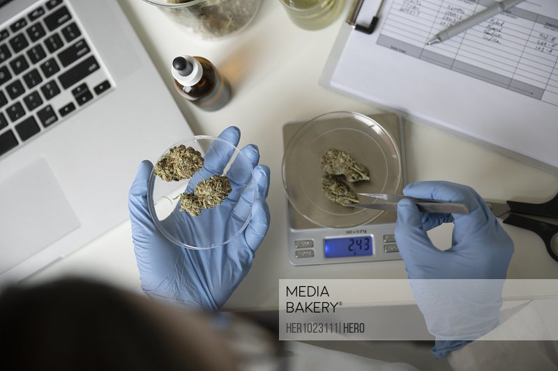 View from above quality control specialist measuring marijuana buds