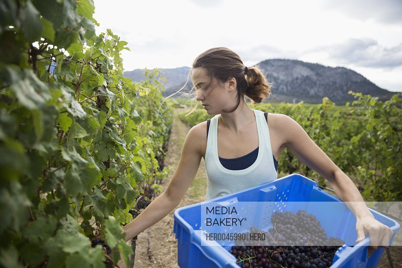 Female worker harvesting red grapes from vines in vineyard