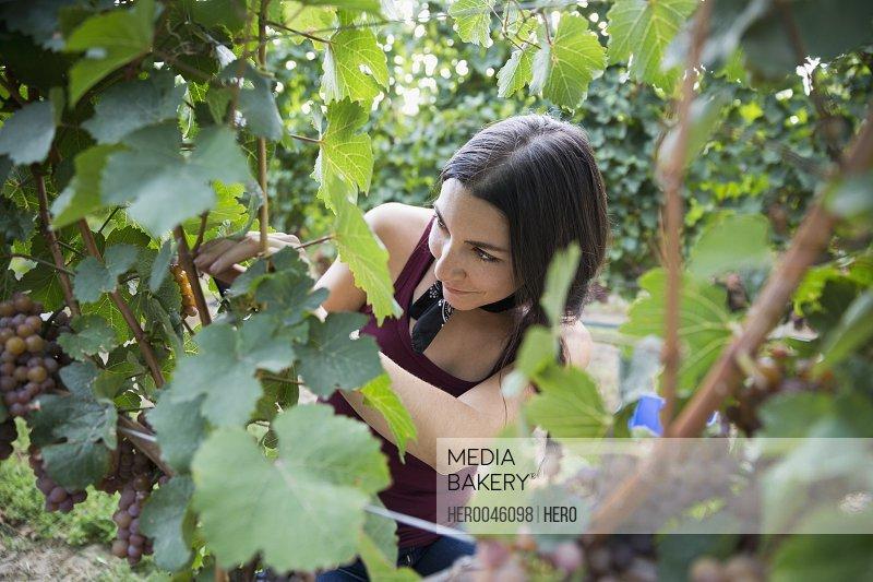 Female worker checking vines in vineyard