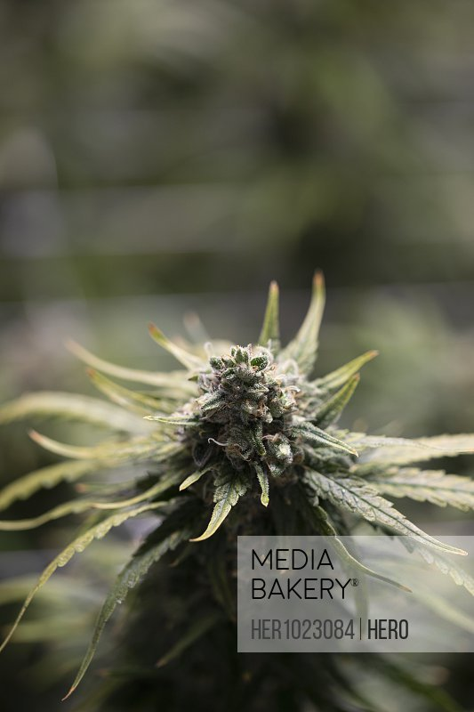 Close up cannabis plant