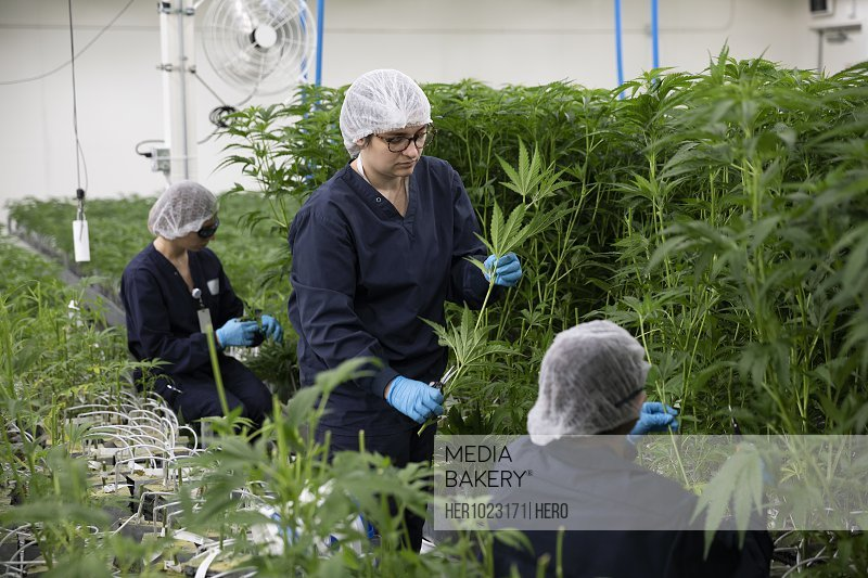 Growers tending to cannabis plants growing