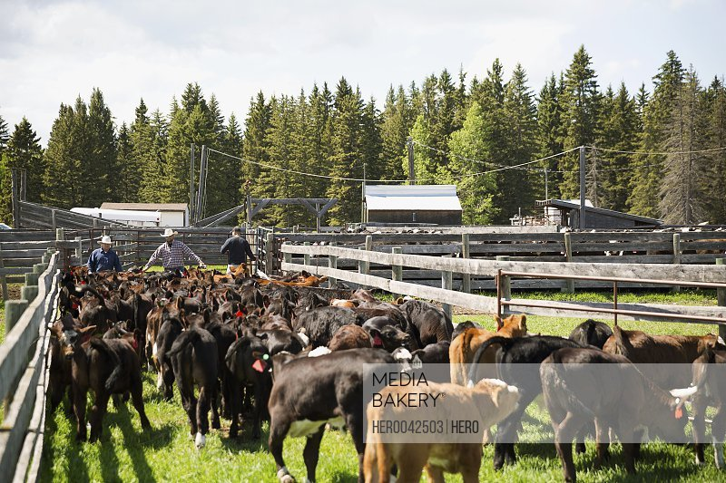 Cattle ranchers herding cows between fences on sunny ranch