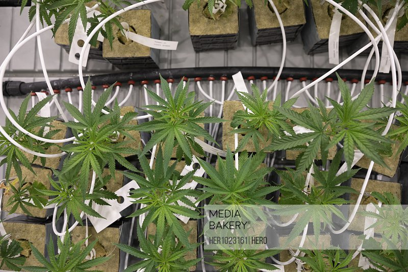 View from above cannabis seedlings growing