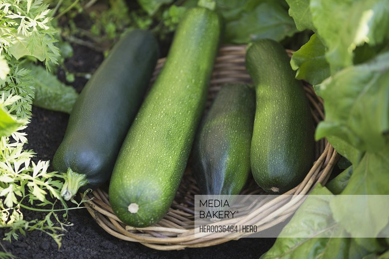 Freshly harvested zucchinis in basket