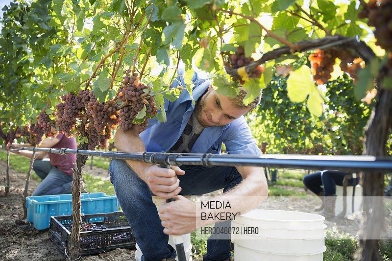 Worker adjusting irrigation pipes below grapevine in vineyard