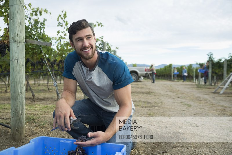 Smiling male vintner harvesting grapes in vineyard