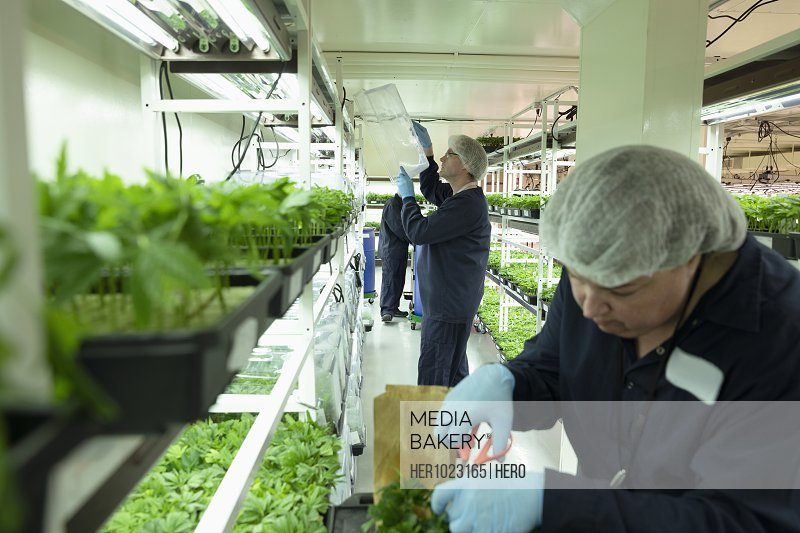 Growers inspecting and trimming cannabis seedlings in incubation