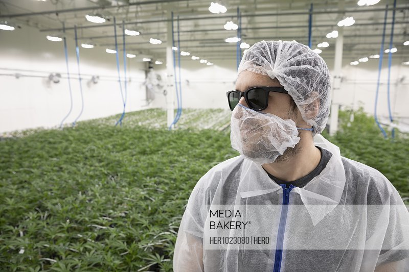 Grower in clean suit standing among cannabis plants growing indoors