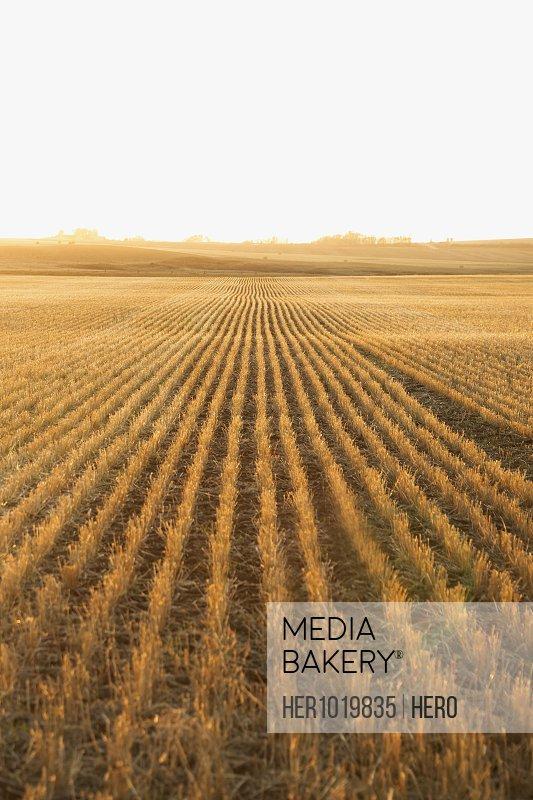 Sunny golden harvested hay crop
