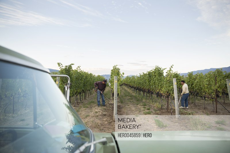 Workers working in vineyard among vines