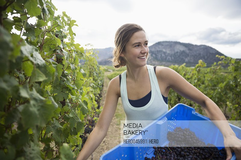Smiling worker harvesting red grapes from vines in vineyard