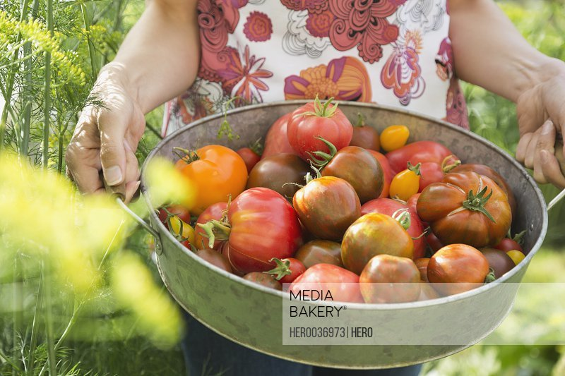 Midsection of woman holding fresh Tomatoes