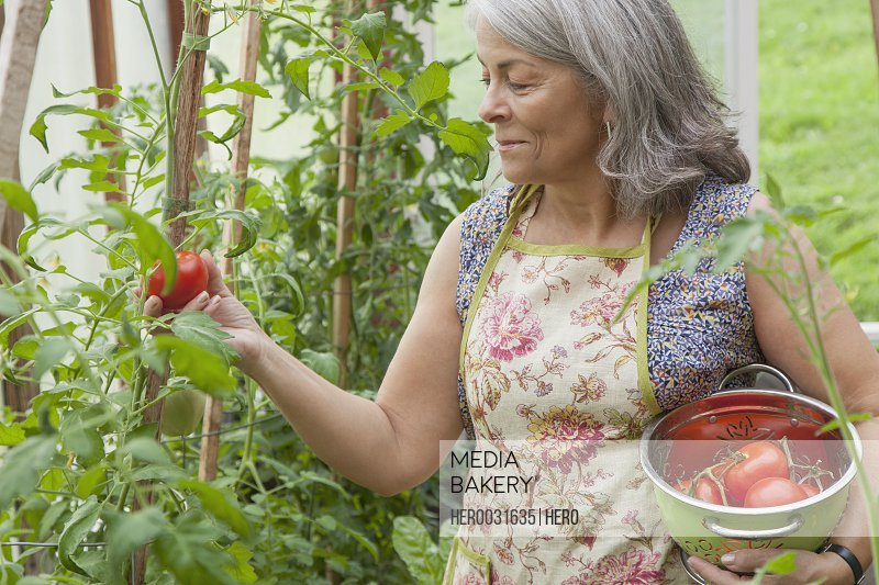 senior woman picking tomatoes in greenhouse garden