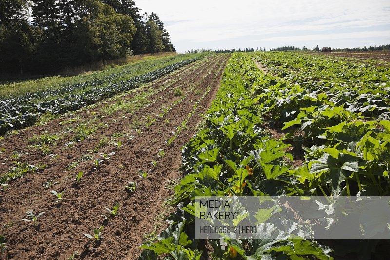 Rows of vegetables growing in field