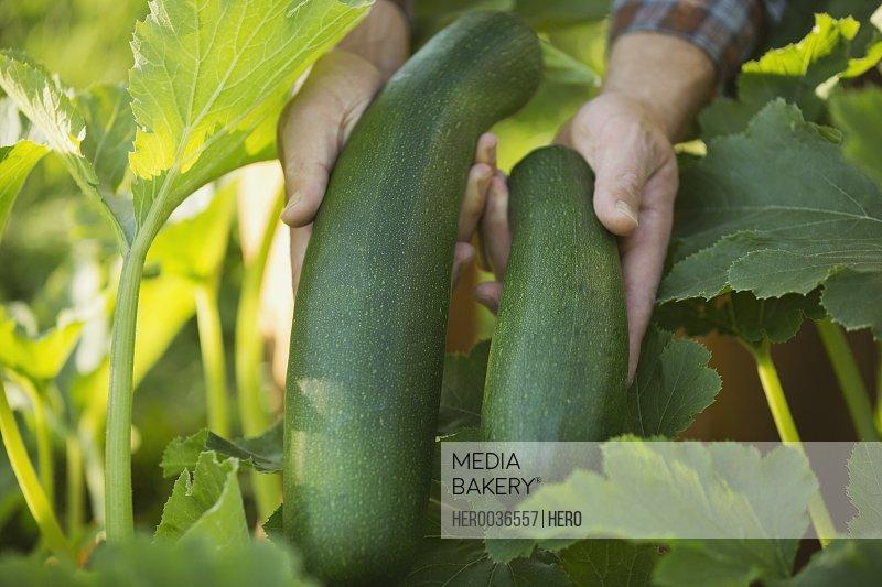 Freshly harvested zucchinis in garden