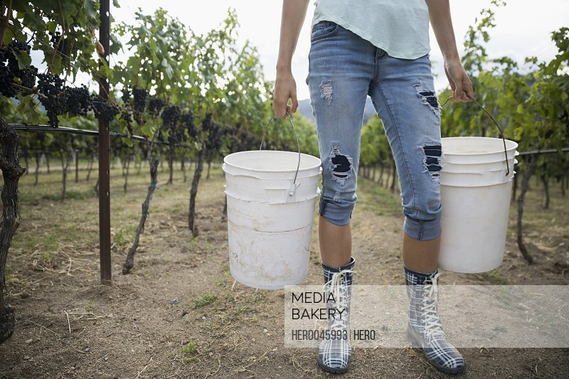 Female worker carrying pails harvesting grapes in vineyard