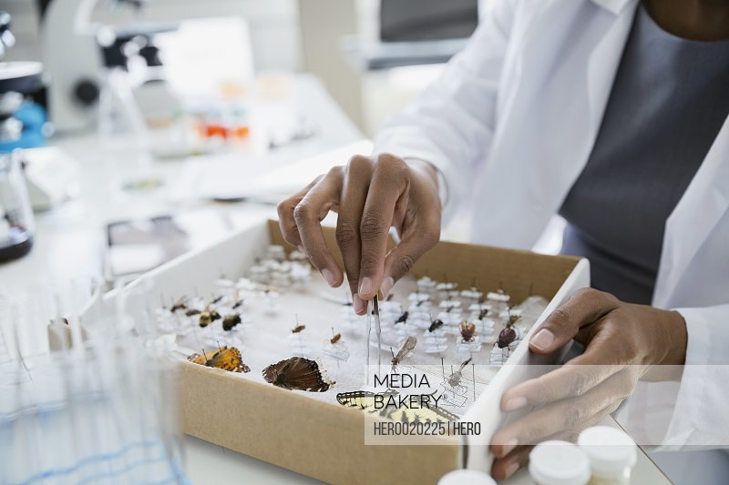 Scientist removing butterfly specimens from box with tweezers