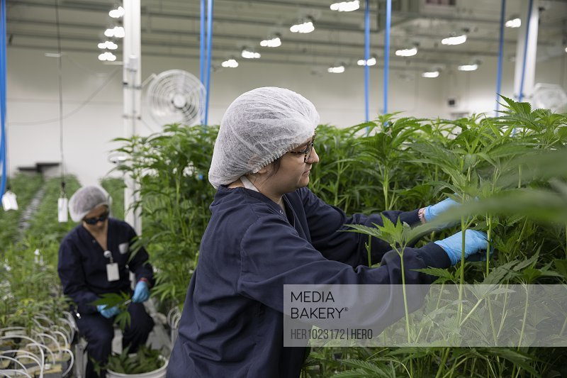 Growers tending to cannabis plants