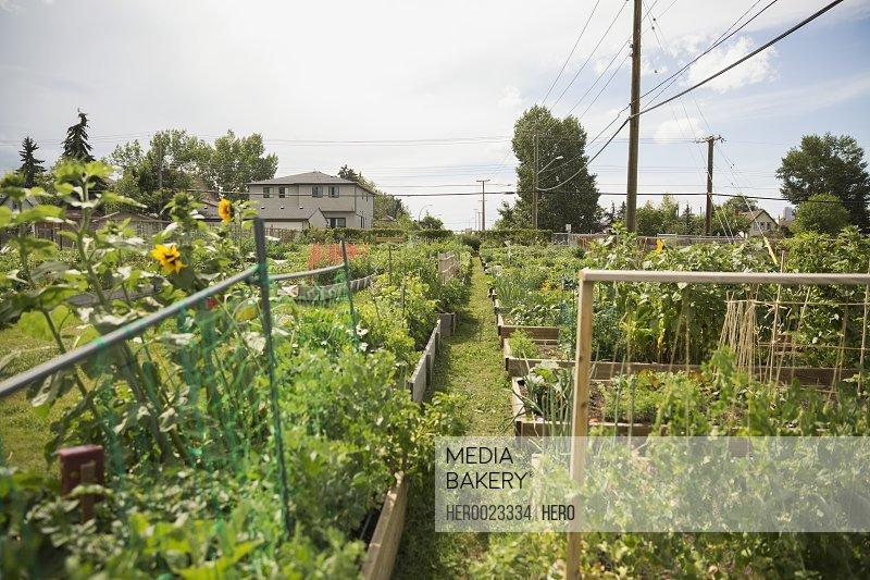 Sunny community vegetable garden