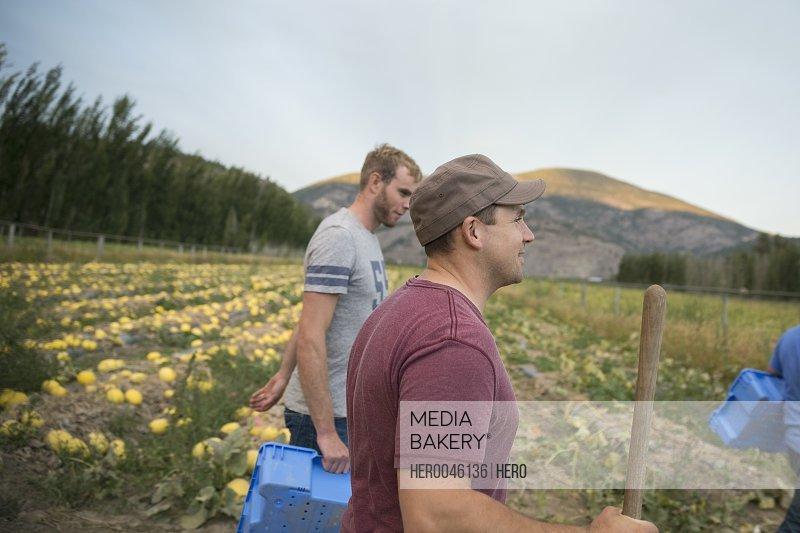 Workers in pumpkin squash crop on farm