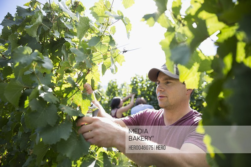 Worker harvesting grapes from vines in vineyard