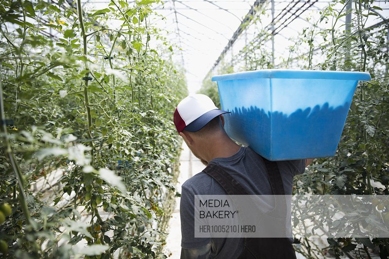 Man carrying bin of fresh, harvested tomatoes between tomato plants in greenhouse
