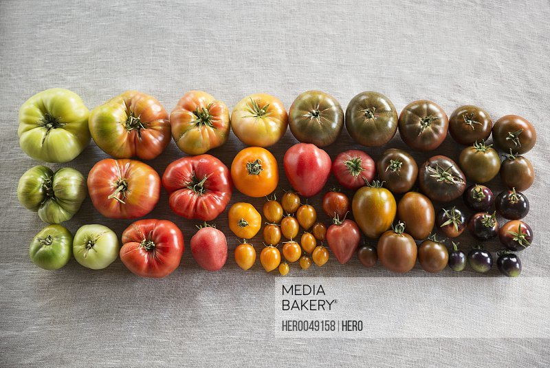 Overhead still life multicolor variety heirloom tomatoes in rows