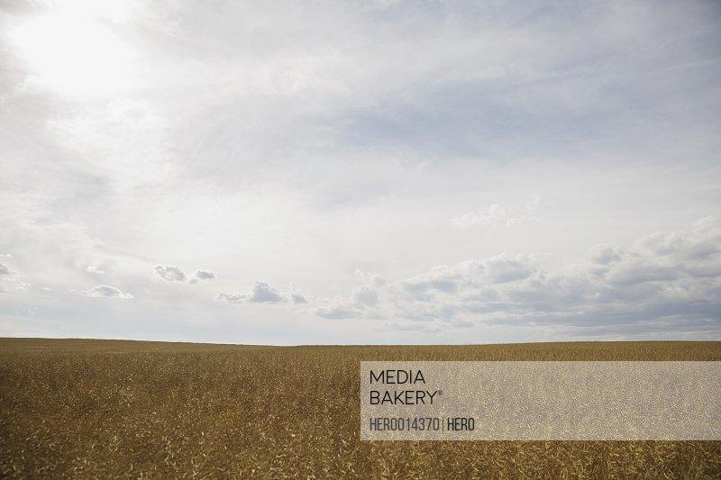 Sunny rural wheat field