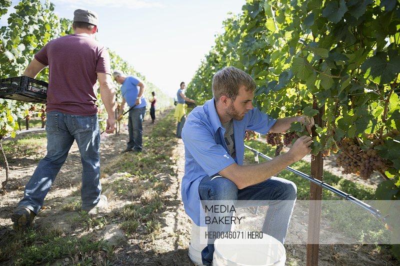 Workers harvesting grapes from vines in vineyard