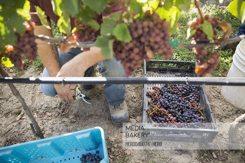Worker harvesting red grapes from grapevine in vineyard