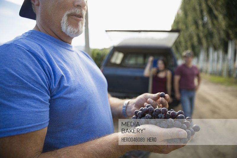 Vintner examining harvested red grapes in vineyard