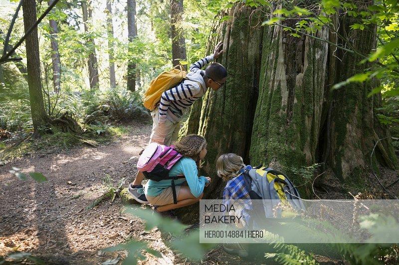 Children looking inside tree trunk in woods