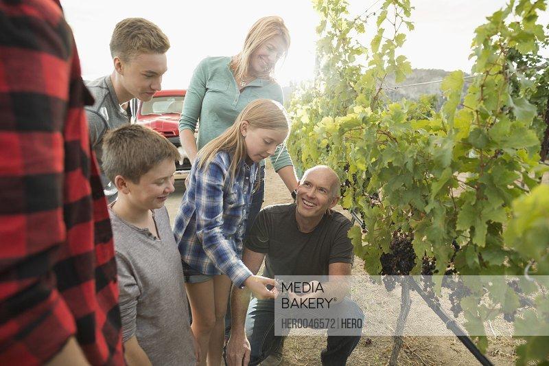 Family vintner examining grapes on grapevine in vineyard