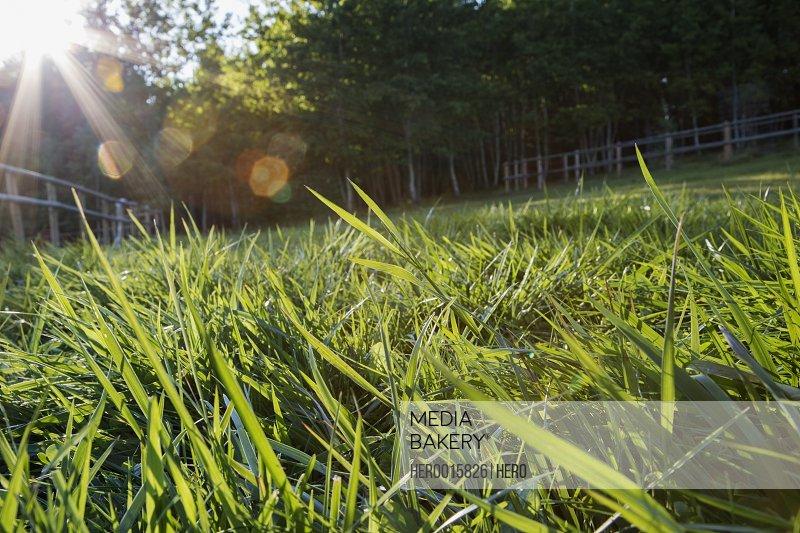 Sun shining on blades of grass