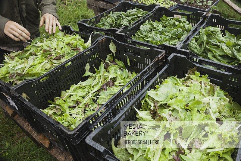 Leafy vegetables in baskets