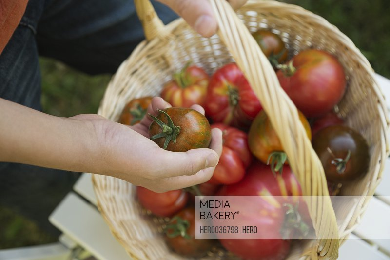 Man holding fresh Tomatoes in basket