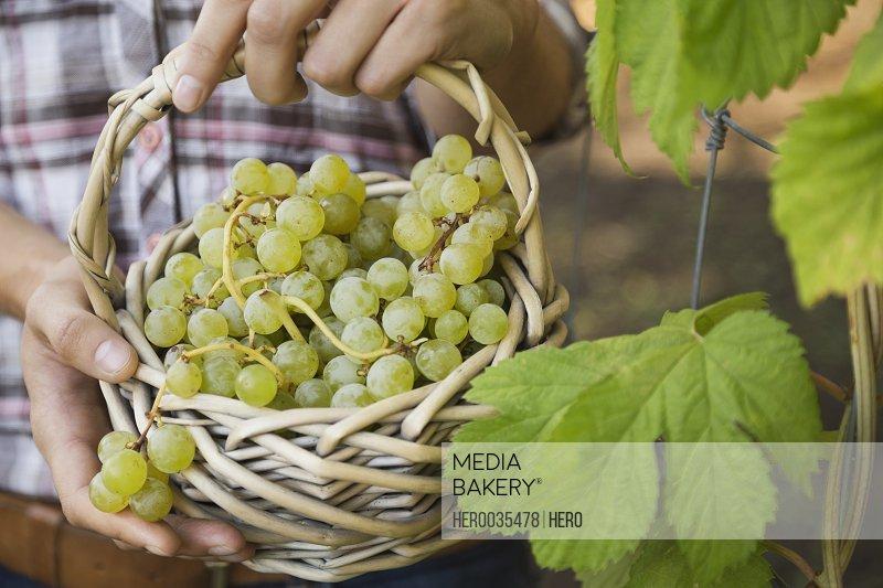 Freshly harvested grapes in basket
