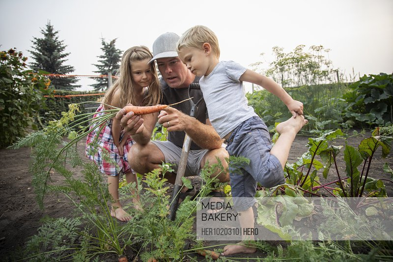 Father and young children examining carrot in vegetable garden