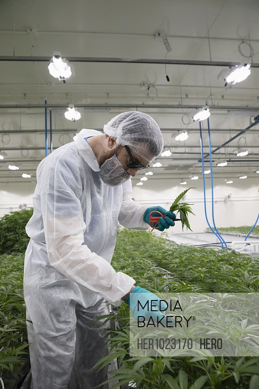 Grower in clean suit trimming and inspecting marijuana plants growing indoors