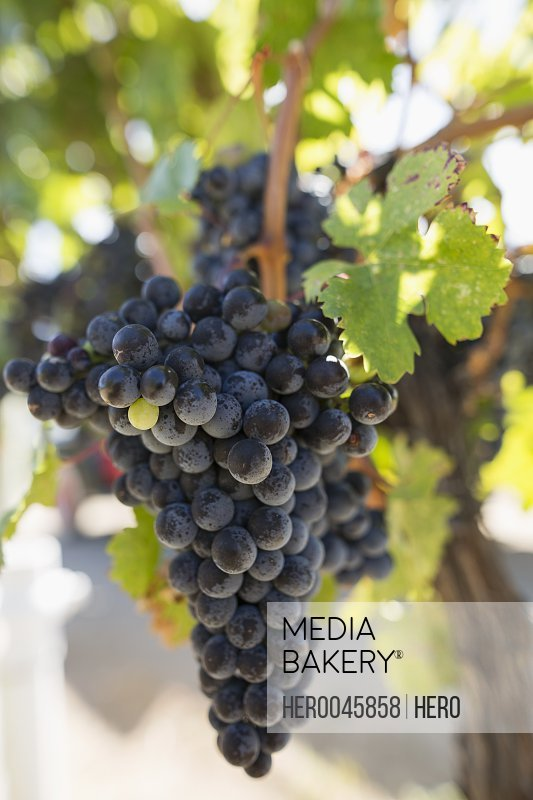 Close up bunch of red wine grapes hanging on vine