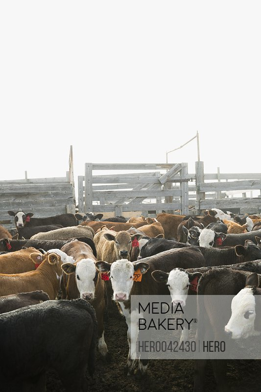 Tagged cows in corral on cattle ranch