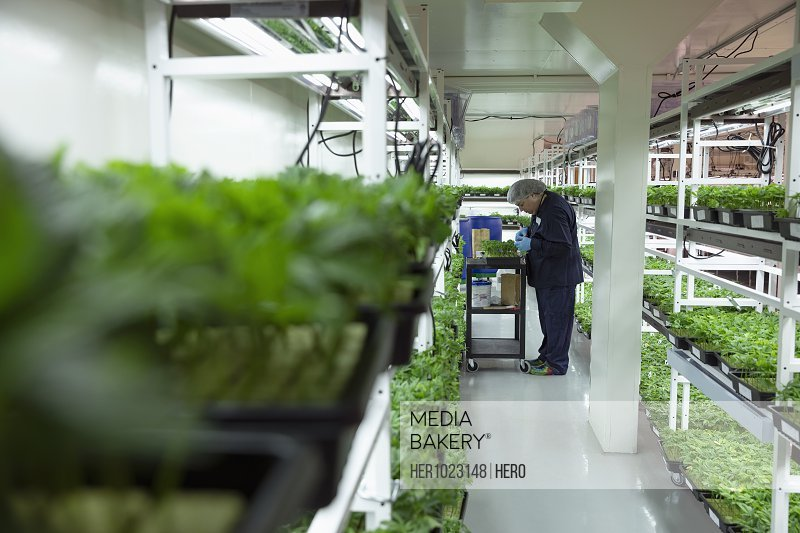Grower inspecting cannabis seedlings in incubation