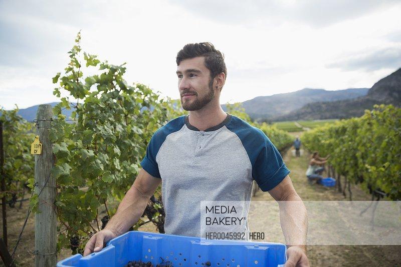 Male worker harvesting grapes from vines in vineyard