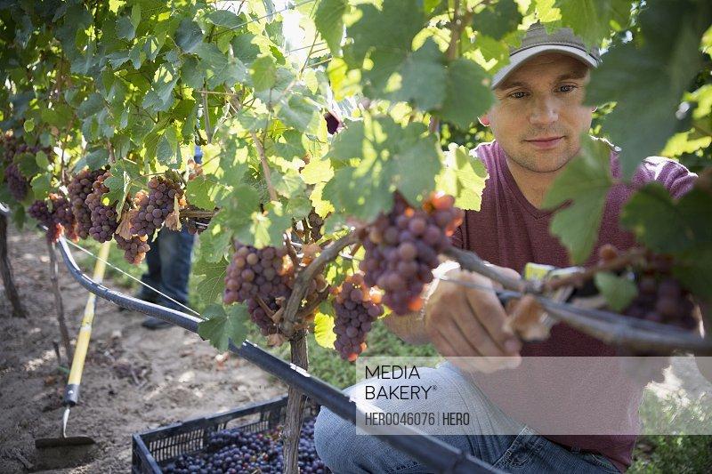 Worker harvesting grapes from vines in vineyard