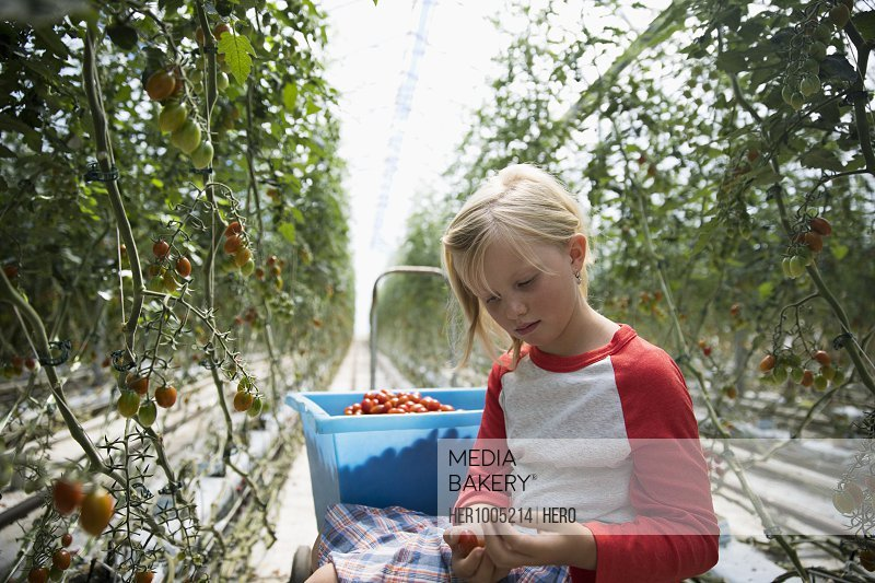 Girl harvesting tomatoes growing on tomato plants in greenhouse